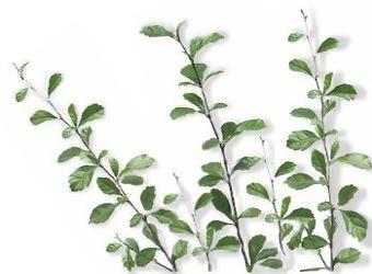 Wild Tea (Tsaang Gubat) Picture