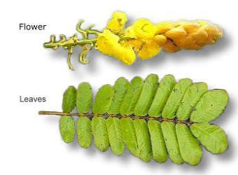 Picture of Akapulko herbal medicine (Cassia Alata) flower and leaves