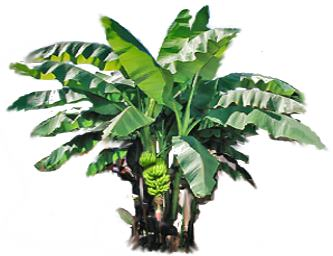 Banana plant with fruits