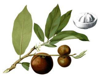 Mabolo (Diospyros blancoi) aka Velvet Apple