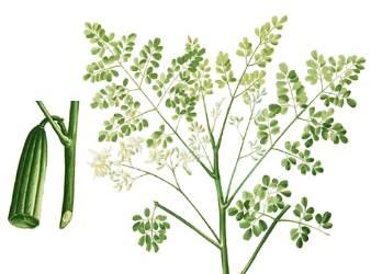 Malunggay (Moringa oleifera Lam.) Picture