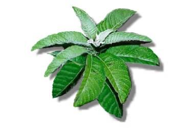 Herbal Medicine Picture: Sambong (Blumea Balsamifera)