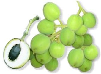 Picture of Tuba-tuba / Jatropha Fruit and Nut