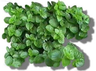 Picture: Yerba Buena (Satureja douglasii) herbal medicine of the mint family
